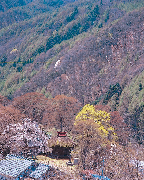 Weeping cherry tree of Tanoue Kannon-doh(Natural treasure of Kiso village)