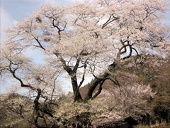 Cherry blossom tree of Suge no Jyuo-doh